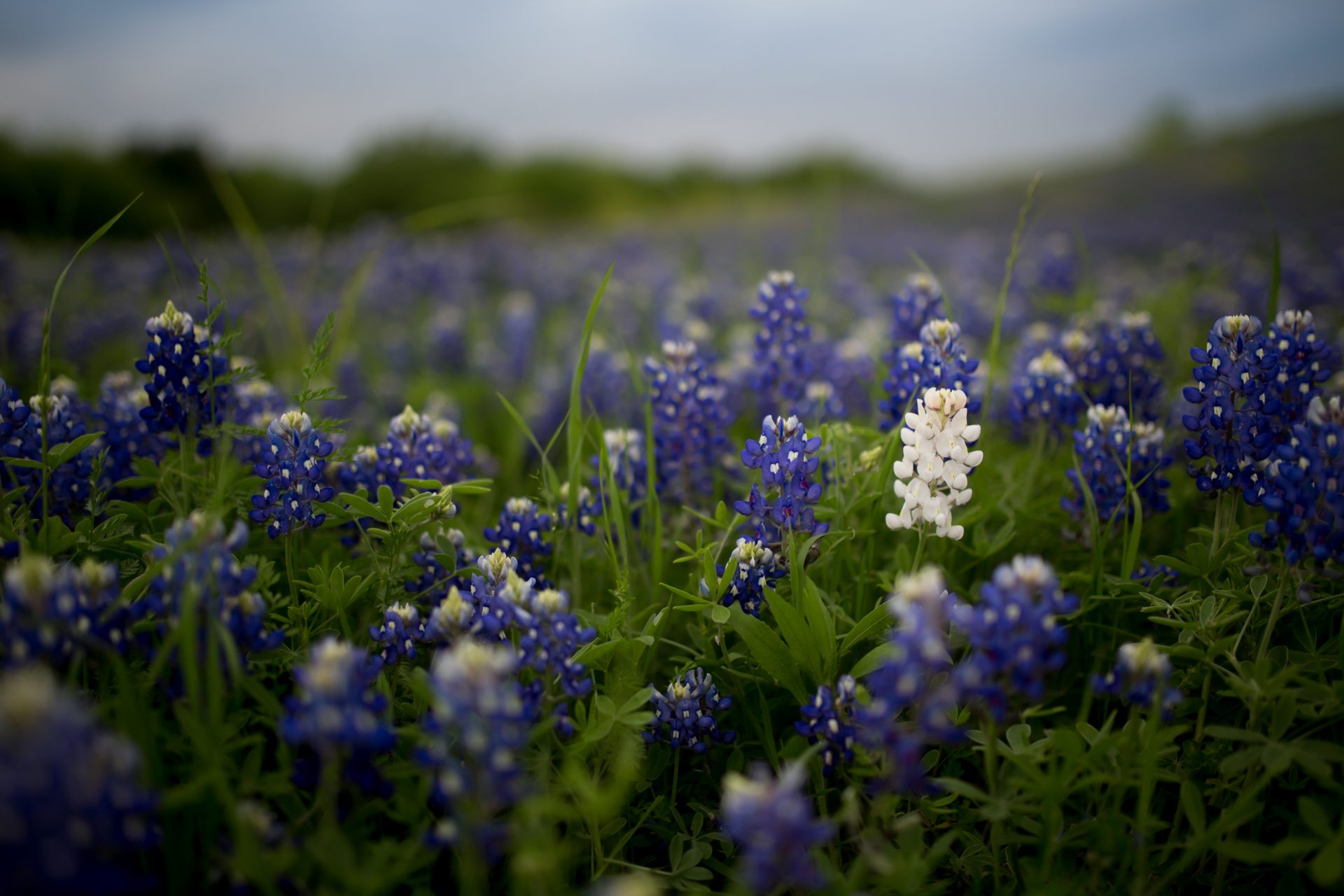 I Want To Give You Some Bluebonnets