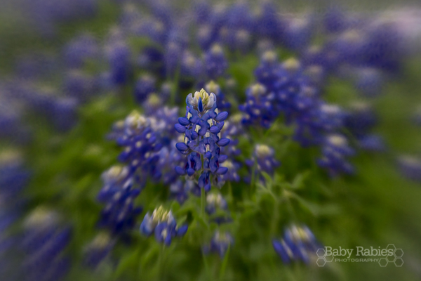 Free hi-res downloads of bluebonnet pictures, suitable for printing up to an 8x10, no watermark, for personal use only | BabyRabies.com