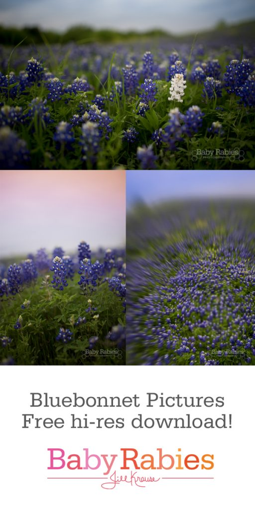 Free hi-res downloads of bluebonnet pictures, suitable for printing up to an 8x10, no watermark, for personal use only   BabyRabies.com